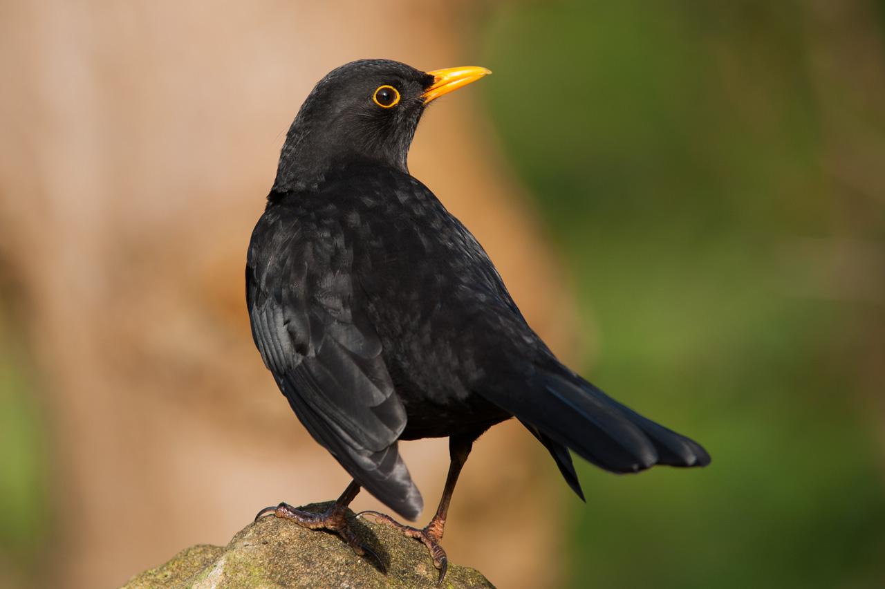 A male Blackbird