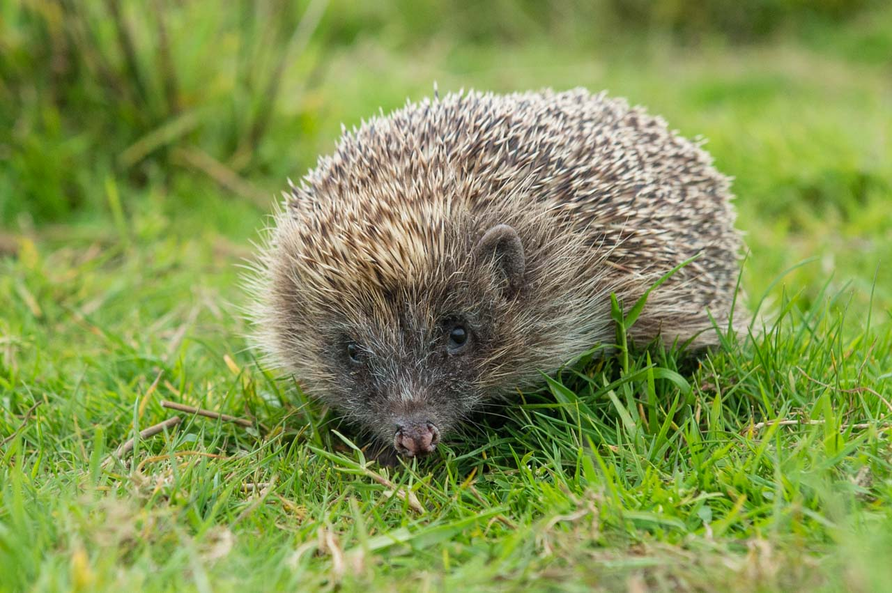 What we all want to see in our gardens, a healthy European Hedgehog