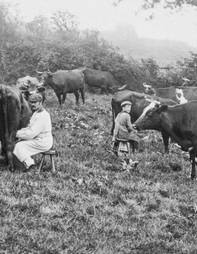 Agriculture - milking c1906