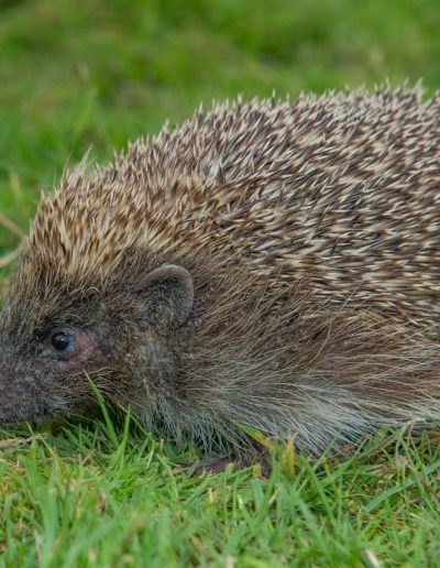 Fauna Hedgehog