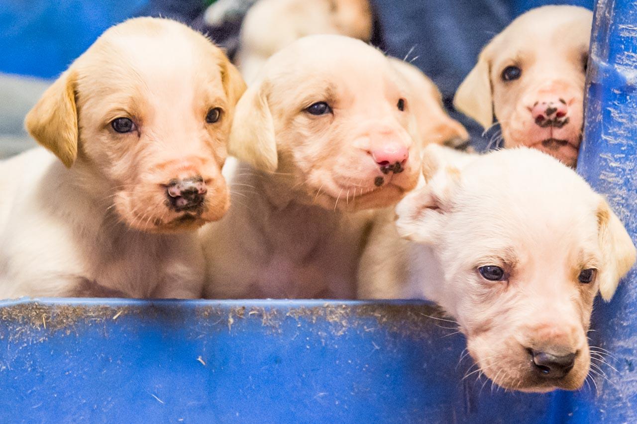 Modern English Hound pups, now three weeks old