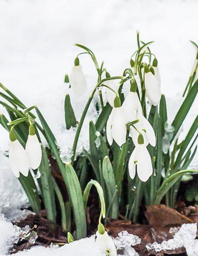 Flora Snowdrops