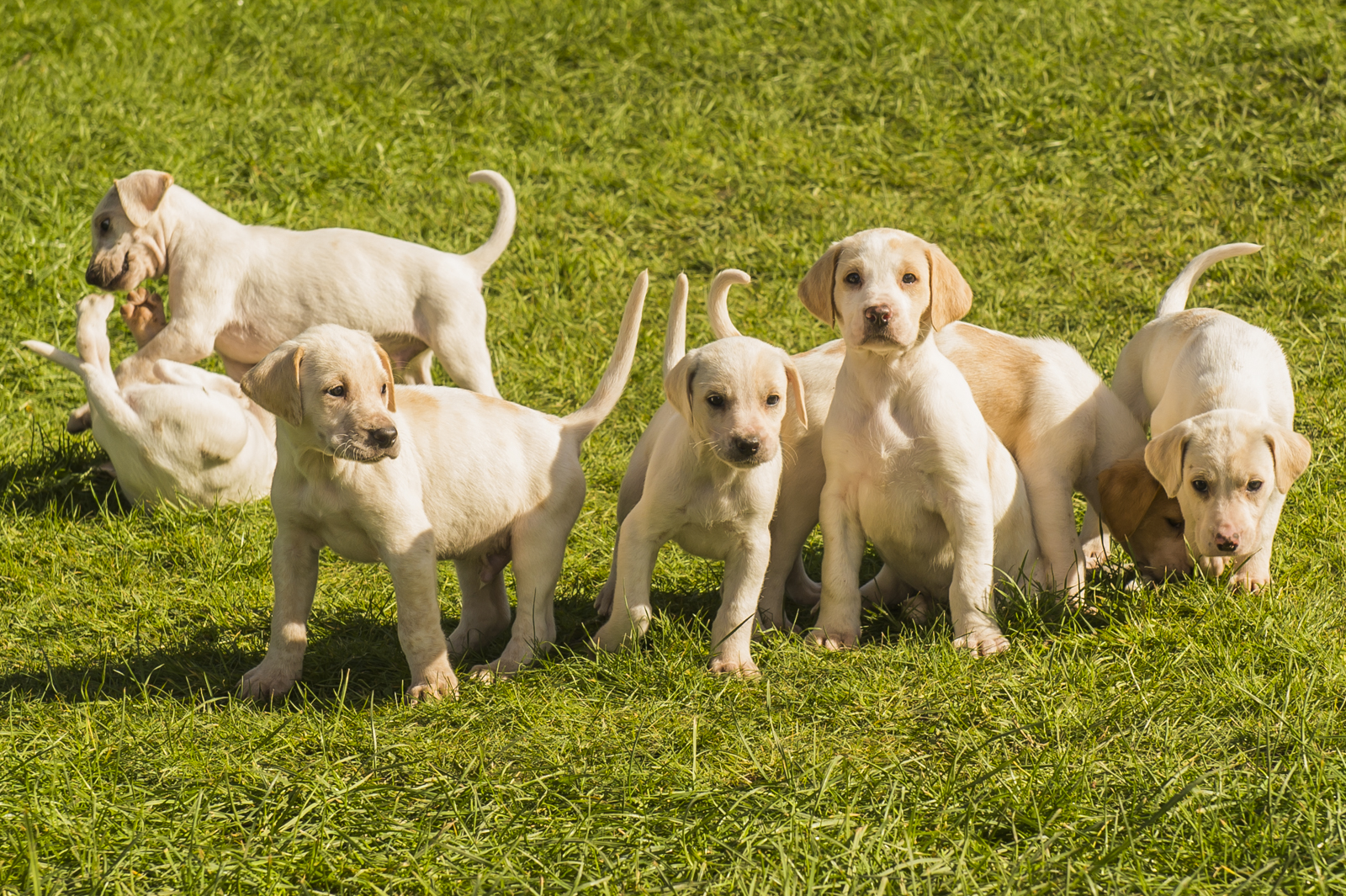 Now 6½ weeks, the Modern English Hounds