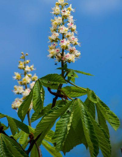 Horse Chestnut blossom