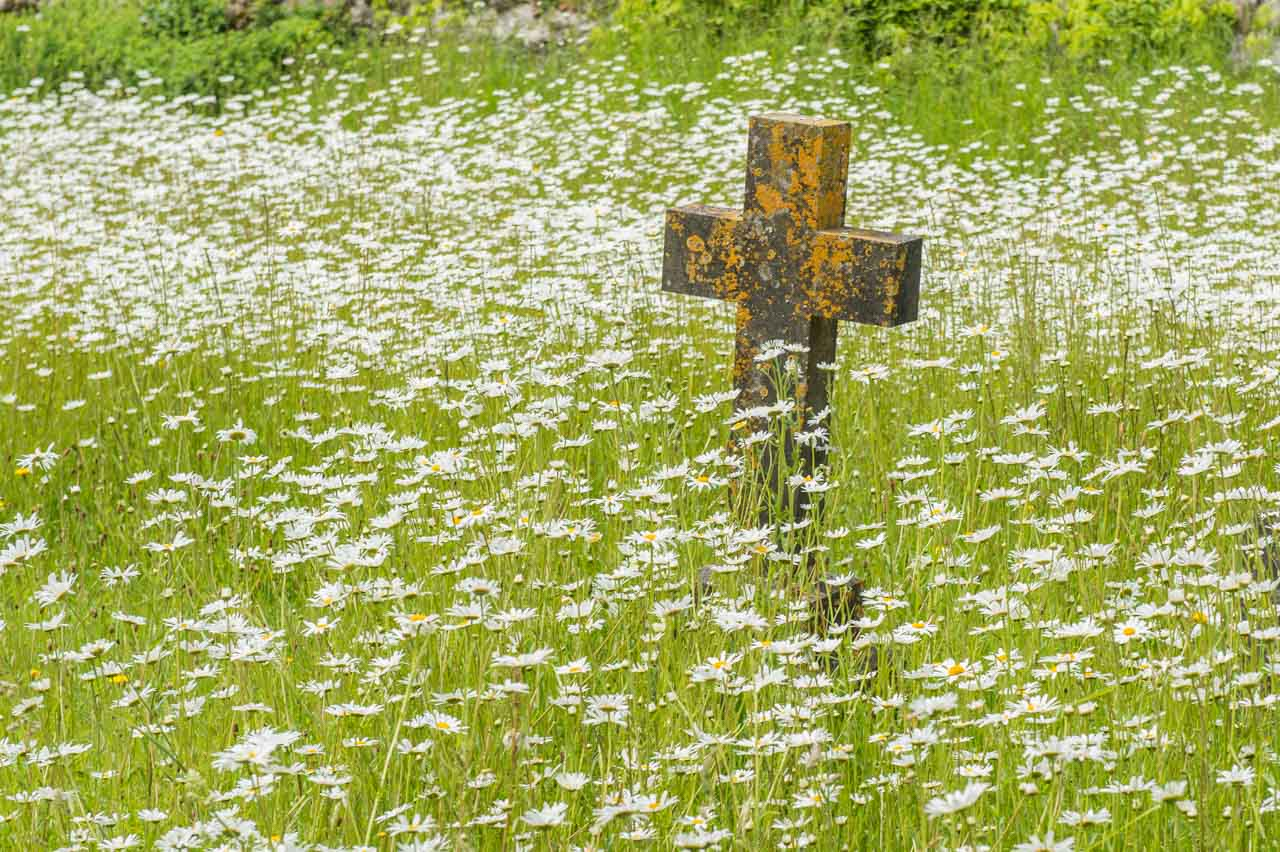 Ox-eye daisies growing in the churchyard