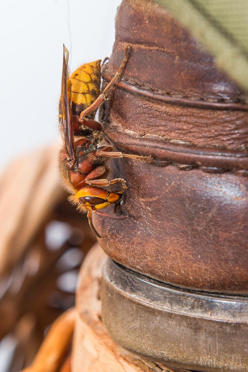 A Hornet found in a pile of shoes