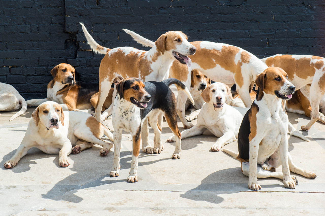 Some of the Hounds resting in the sun