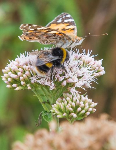 A Painted Lady butterfly and Whitetail bumblebee