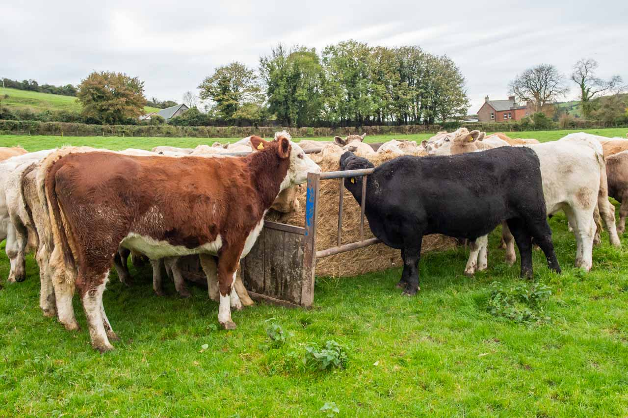 Cattle in Kennel Lane field eating Manor Farm organic hay