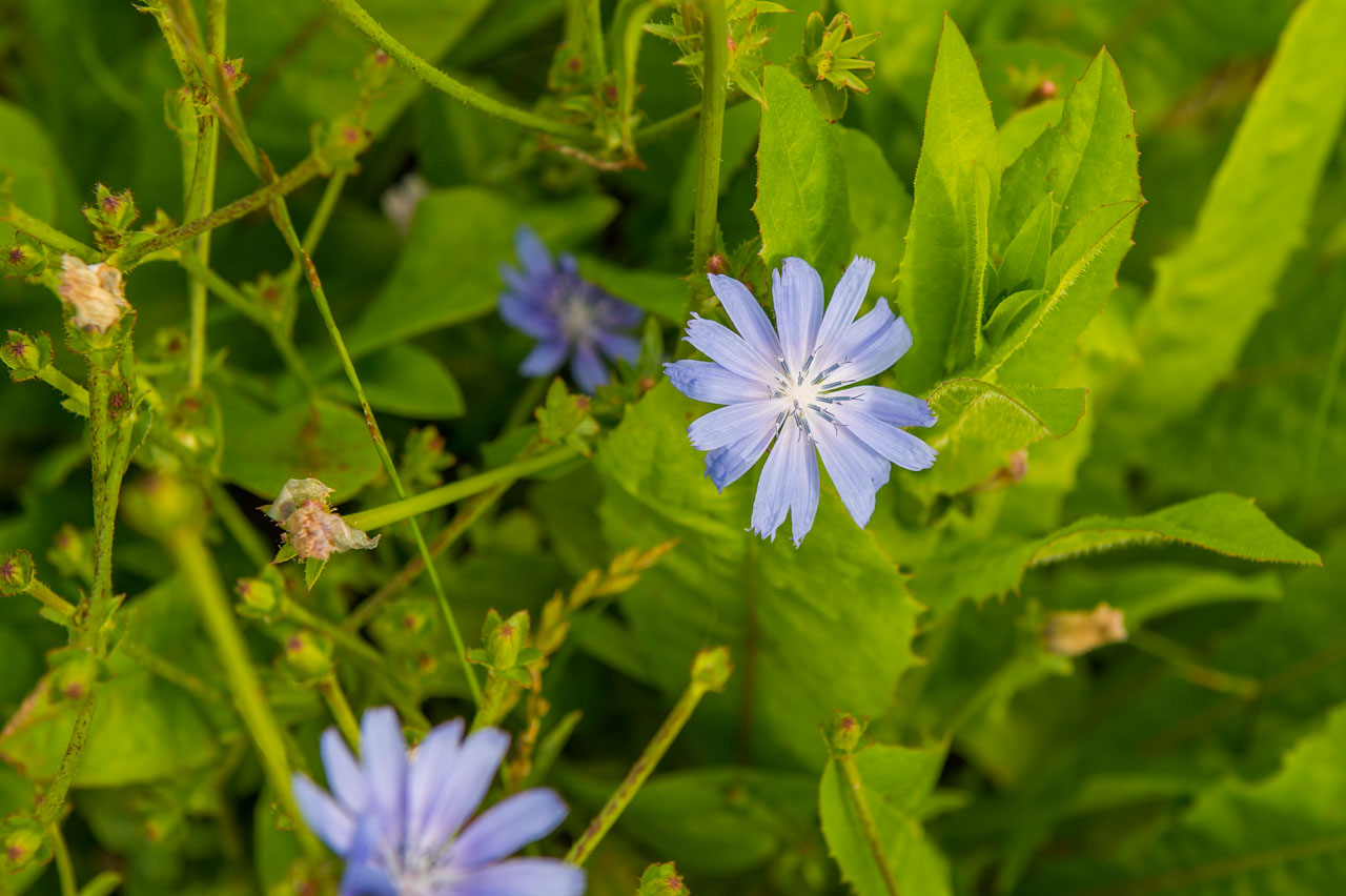 The flower of a Chicory plant