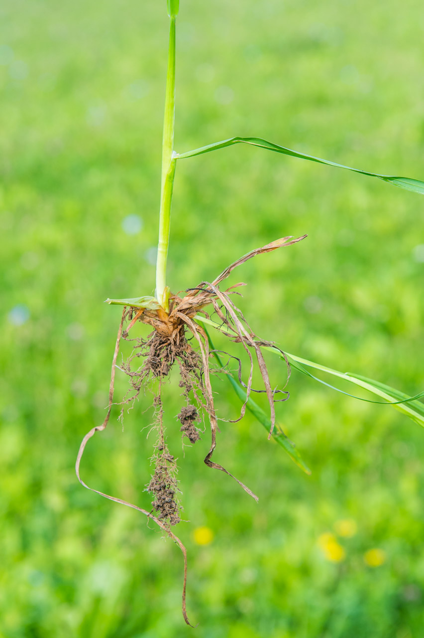 The long roots of Ryegrass allow improved access to water during dry spells