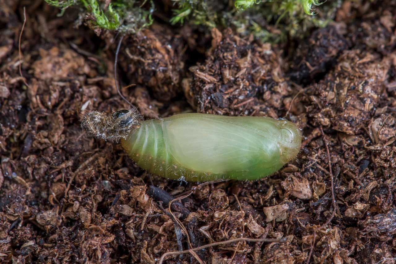 A pupa of the Adonis Blue