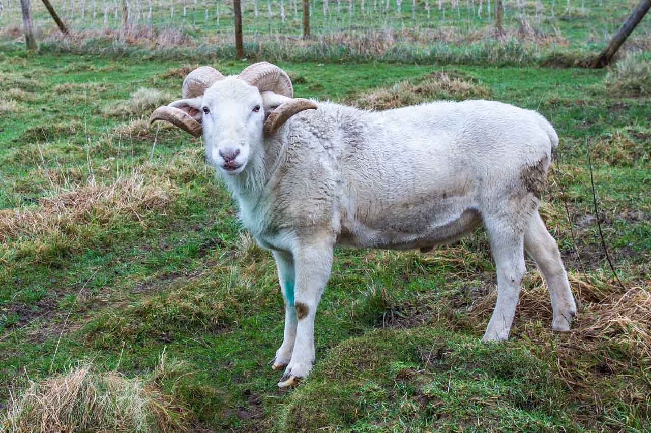 Andrew, a fine 4 year old Wiltshire Horn Ram