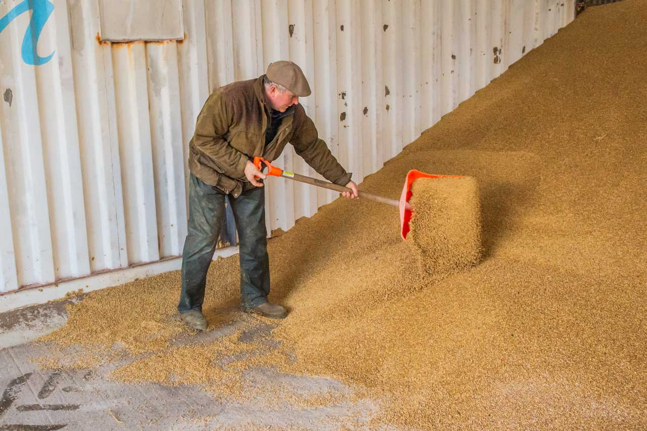 Dan tidying up the non-rolled Barley, before dividing the storeroom ready for the transfer of the cracked grain