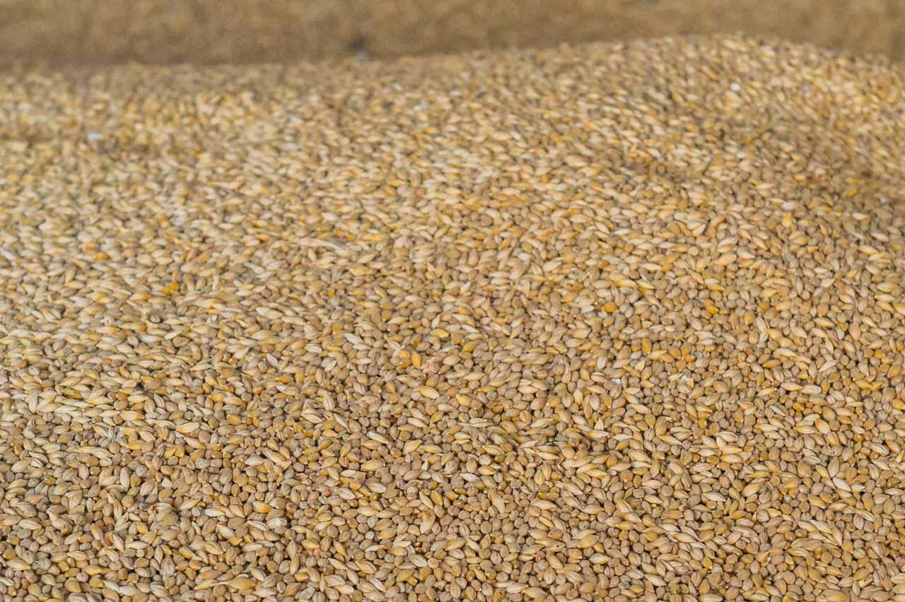 Organic Barley, grown in Observer's field