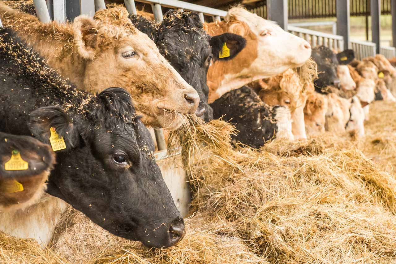 The cattle feeding on the rolled Barley and hay