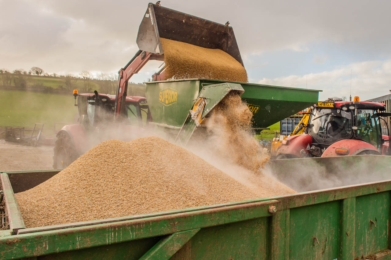 The process underway:  Pearce continually loads the hopper and the Barley is collected in a trailer after being rolled