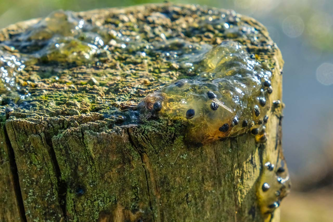 Frog spawn on a post, taken from a pond by a bird