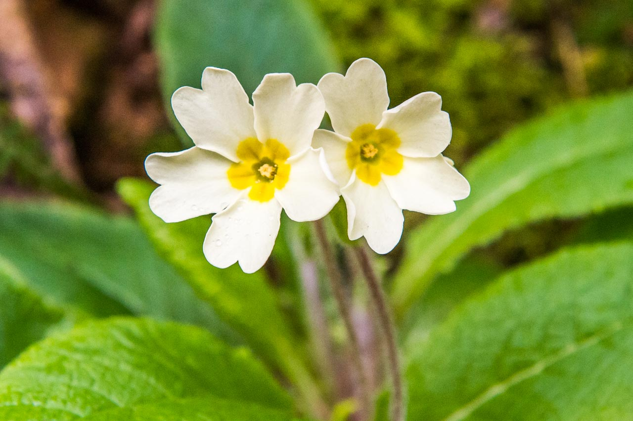 Primroses in the hedgerows