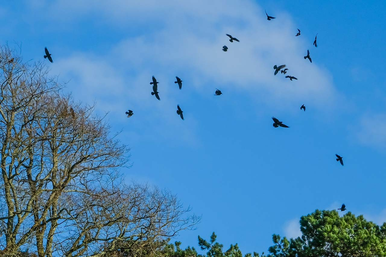 Rooks are nesting near the Cricket Pitch