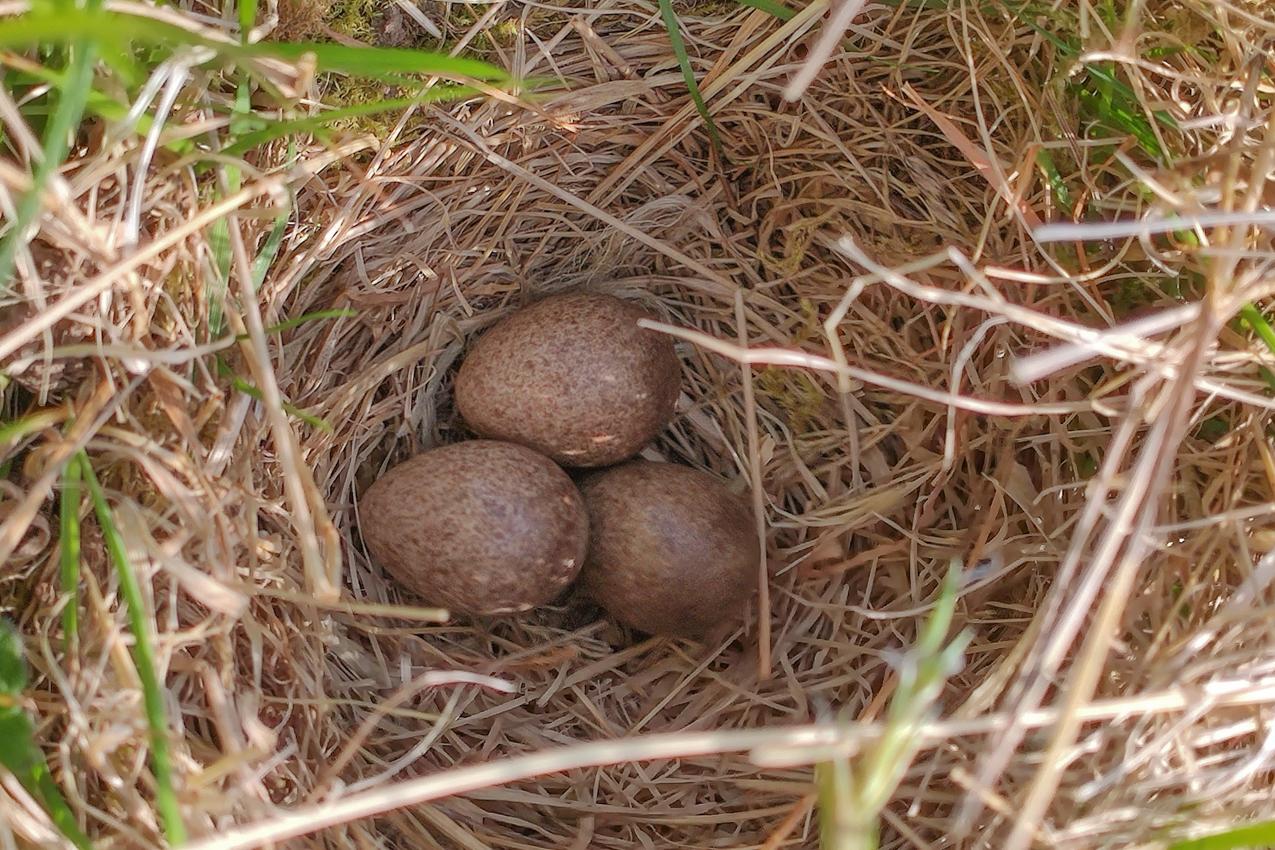 The eggs of a Skylark (Alauda arvensis) at Wallis Farm