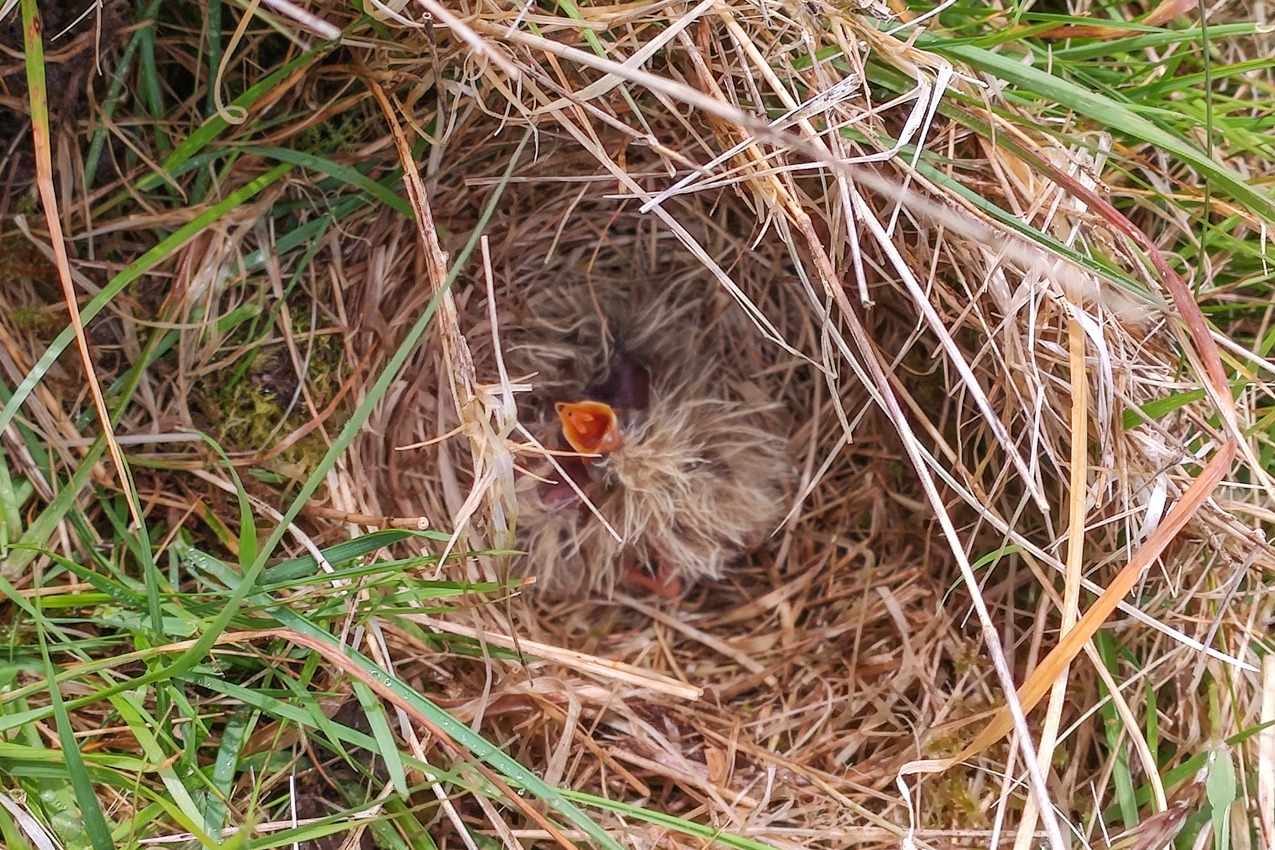 A rare view of a young Skylark chick at Wallis Farm
