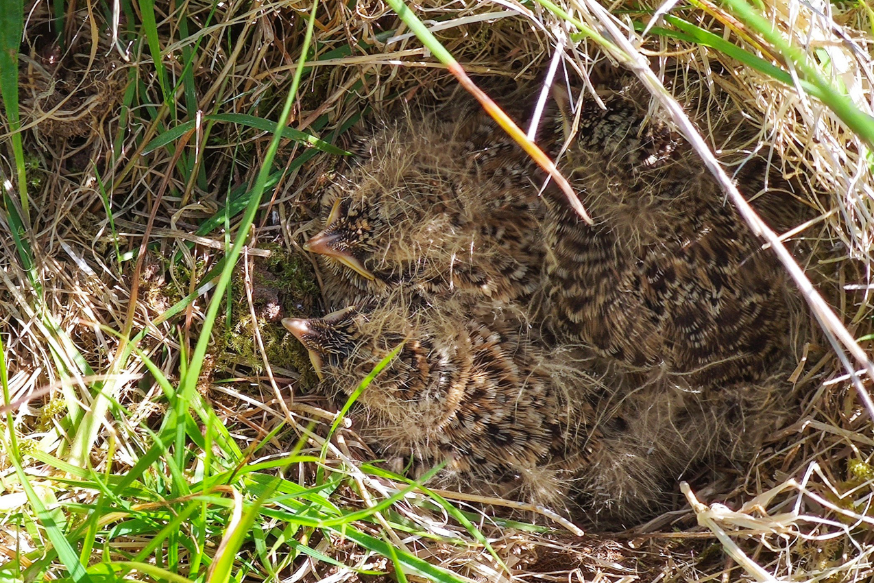 One week on and the skylark chicks are growing fast