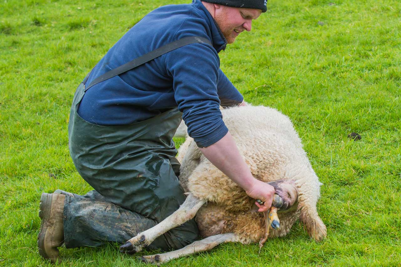 Two hooves and a head are usually first to appear, as Bertie provides this ewe with some help