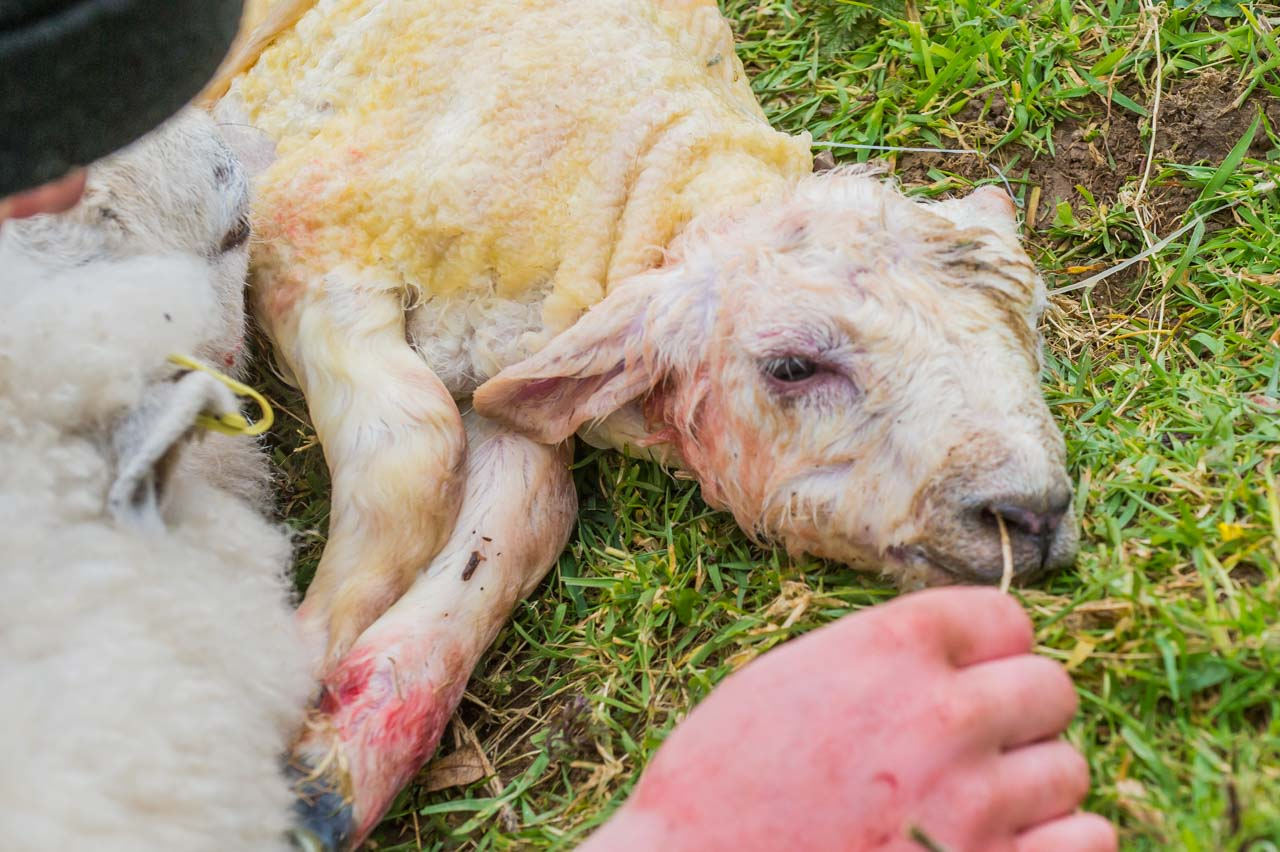 A piece of grass encourages the lamb to cough and breath