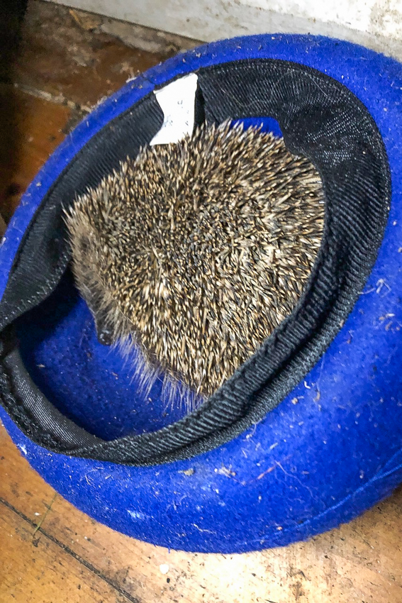 What a shot - a hedgehog fast asleep in a hat in Liz's porch