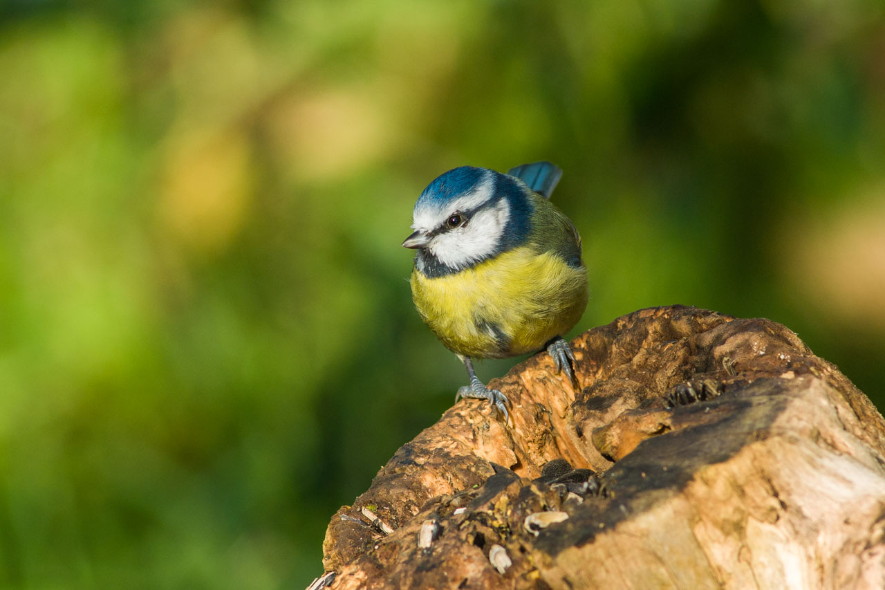 A Blue Tit on a Sunflower seed feeder