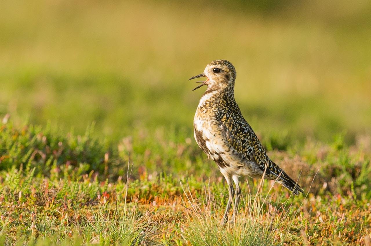 A Golden Plover calling