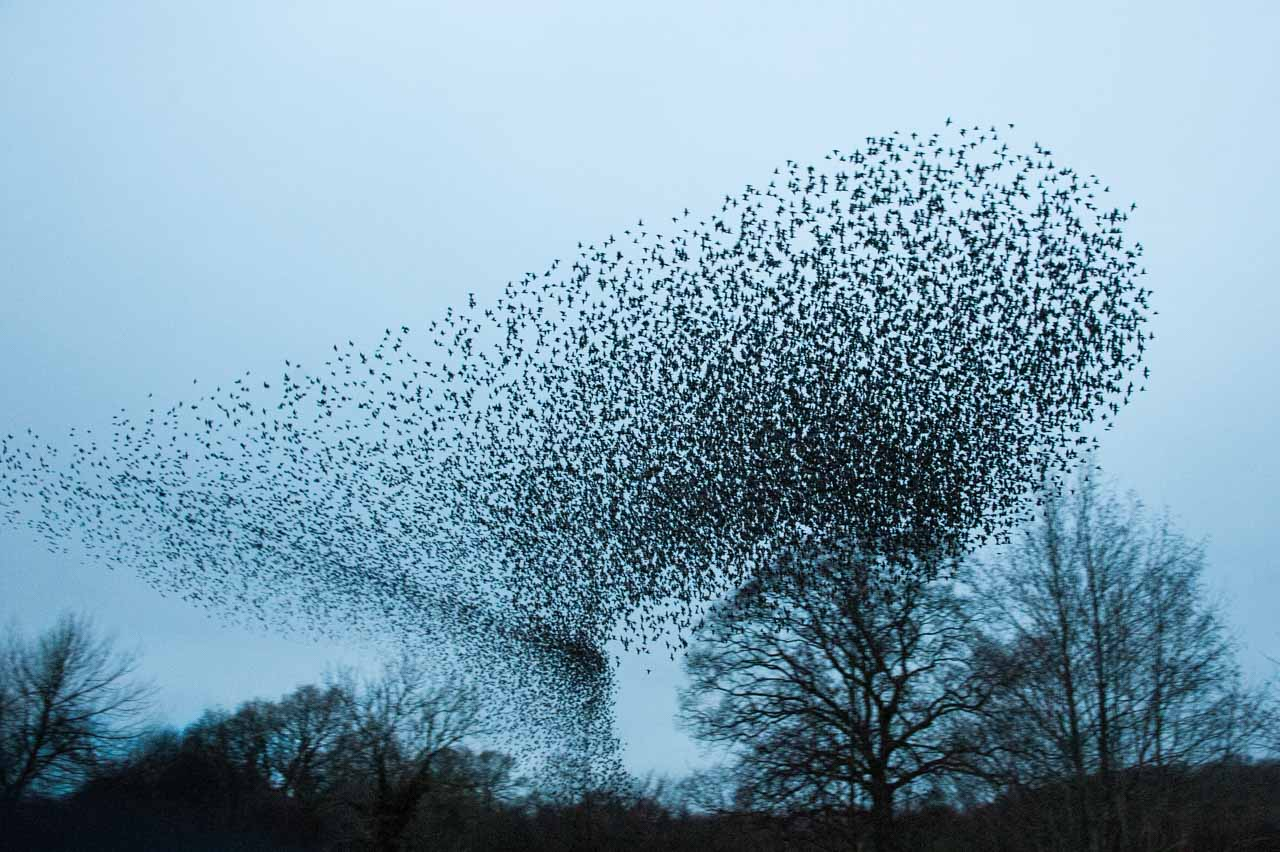 An example of a local murmuration of Starlings