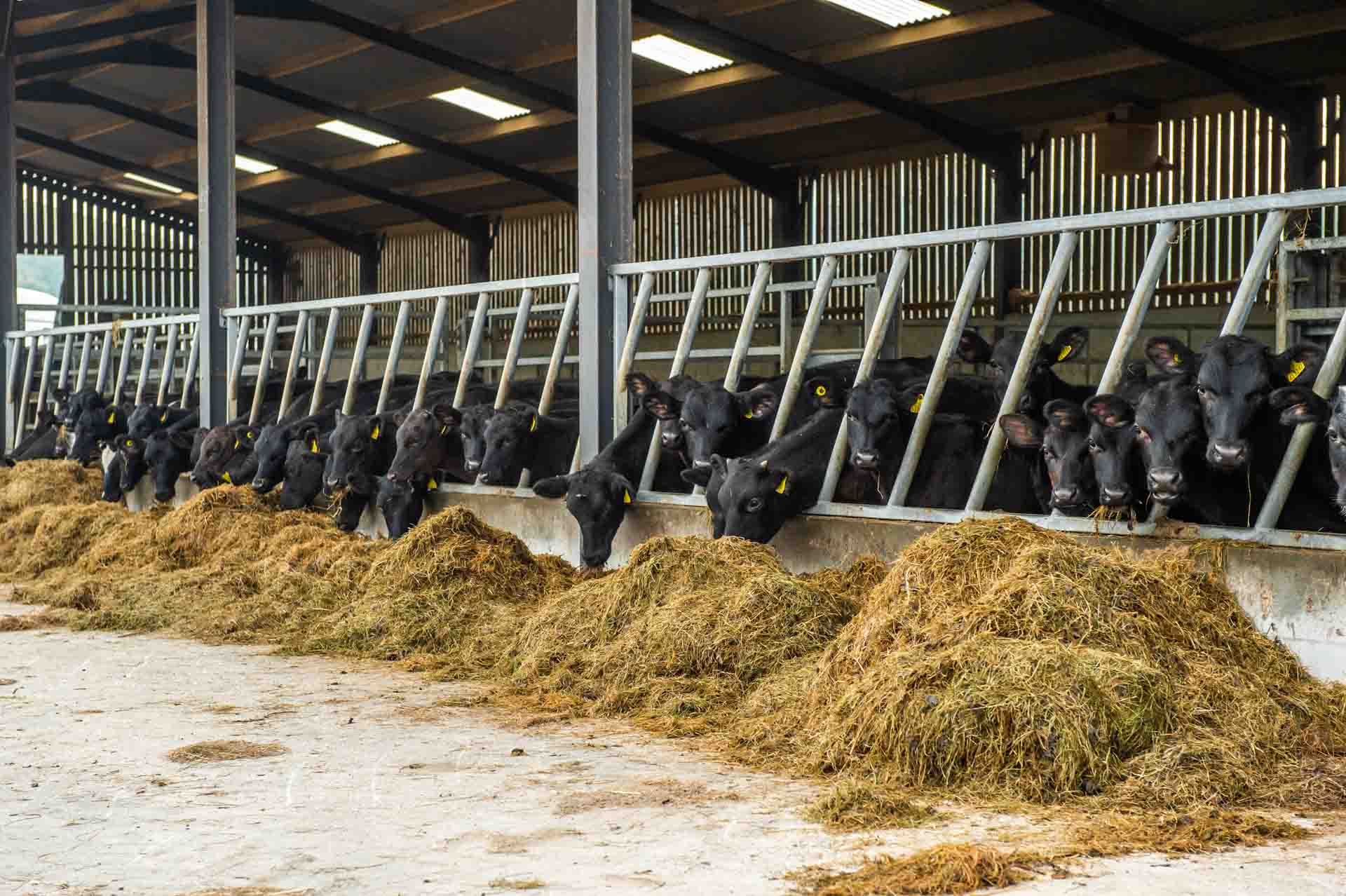 4 month old Angus-Friesian cross calves, now eating silage