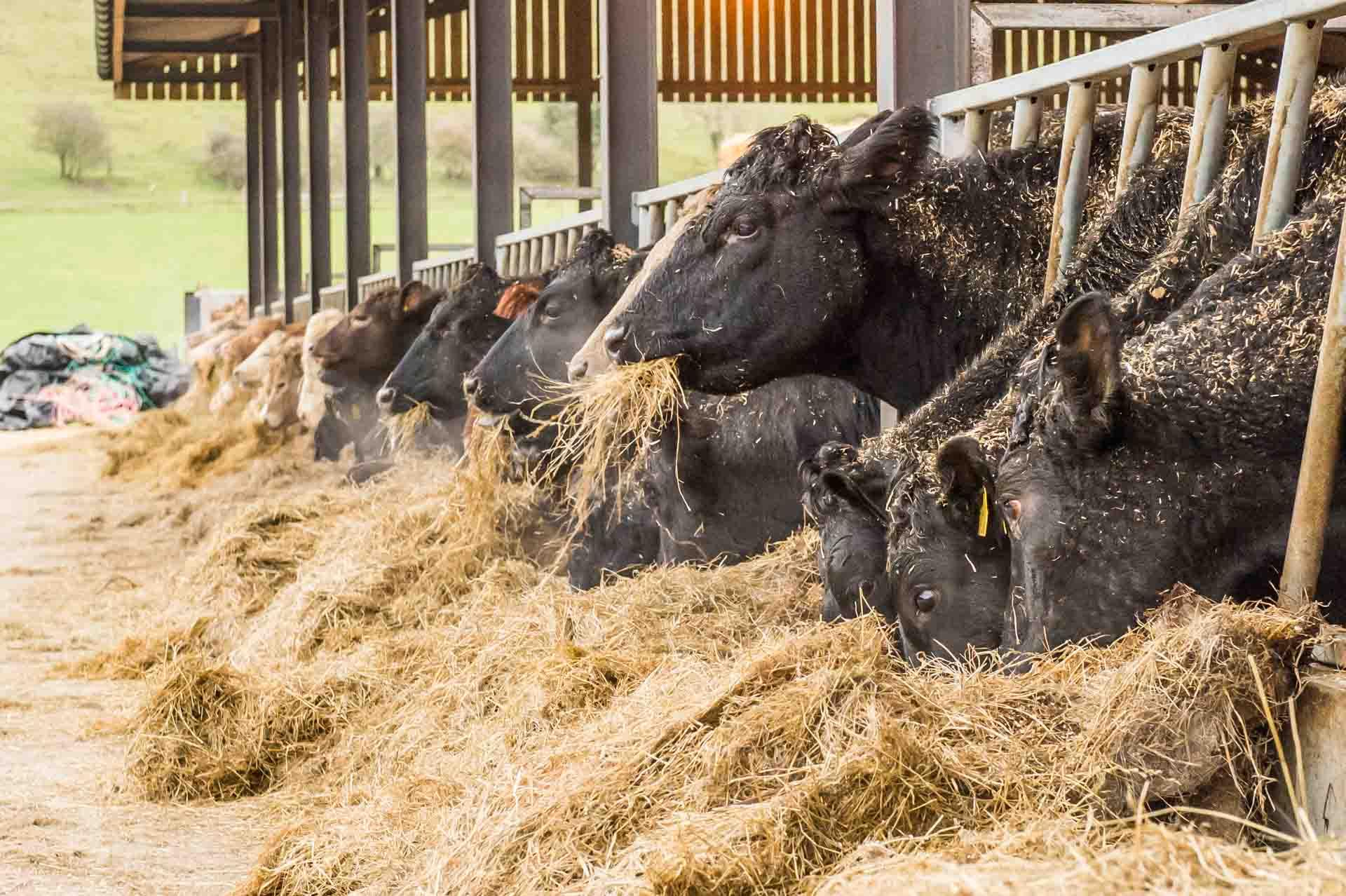Angus-Friesan cross cattle eating hay and barley