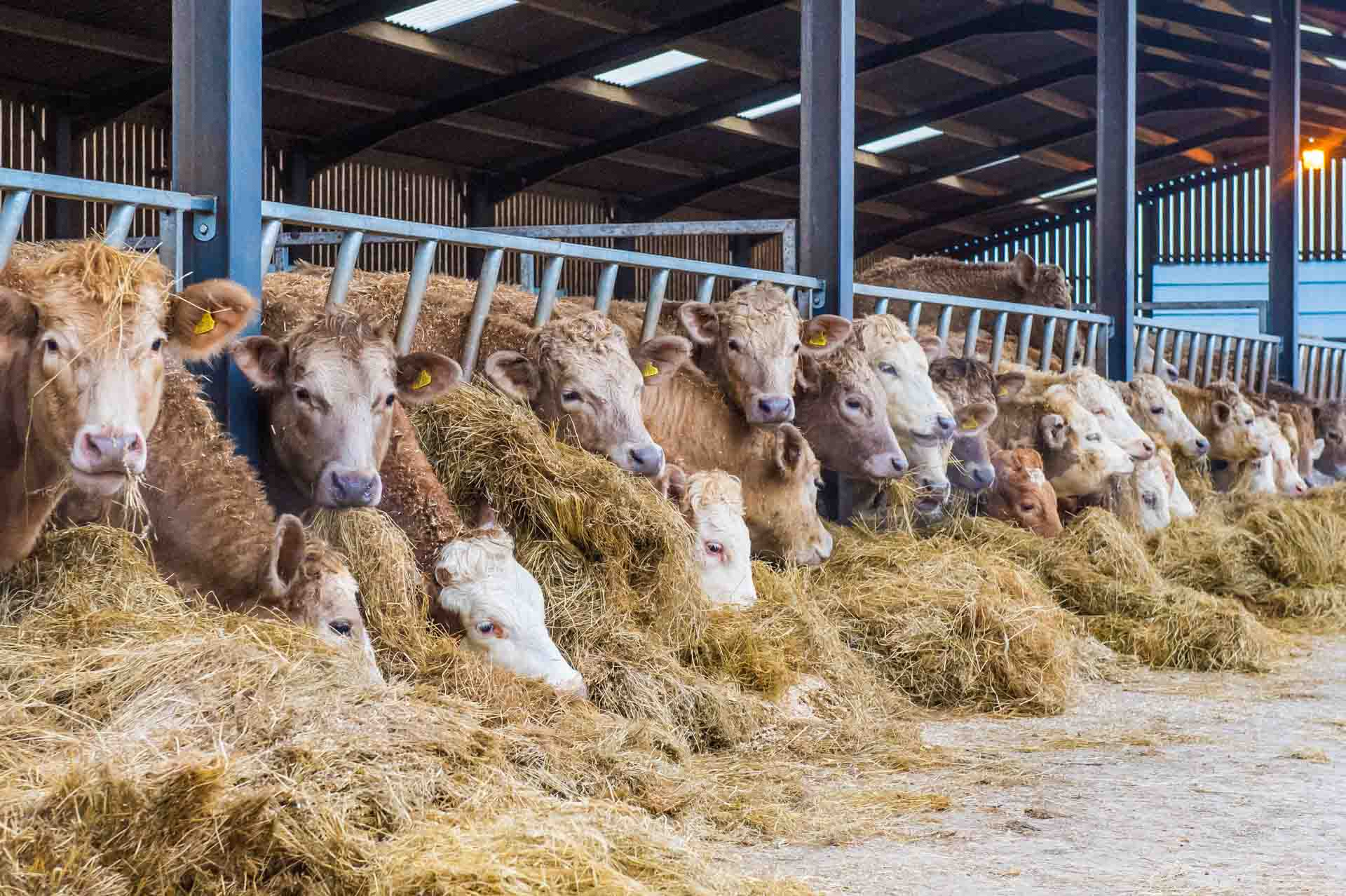 Charolais-Angus-Friesian cross cattle eating the hay and rolled barley