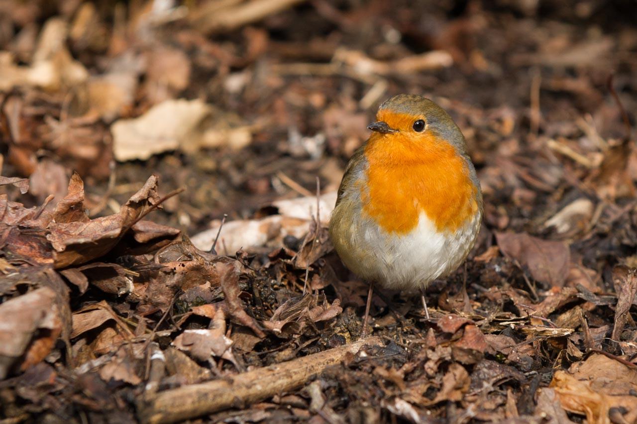 A Robin rummaging in the leaf litter
