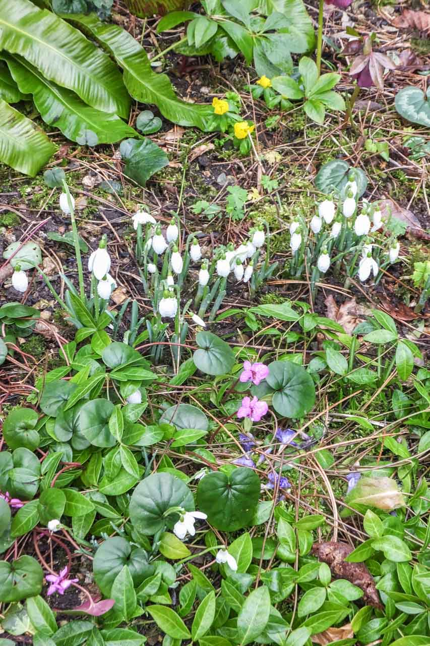A patch of John and Sue's garden, with a rich mix of Snowdrops, Celandines and domesticated flowers