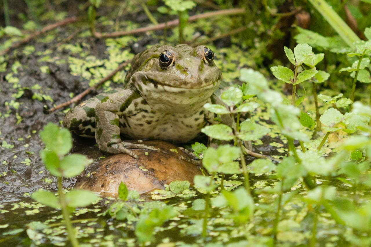 Common frogs will soon be seen in our gardens