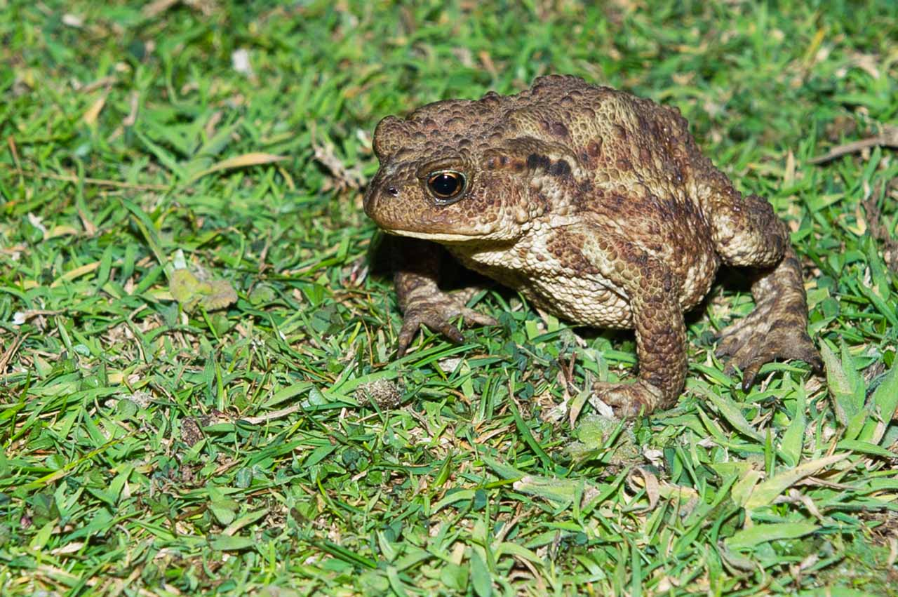 Common toads only visit ponds to breed