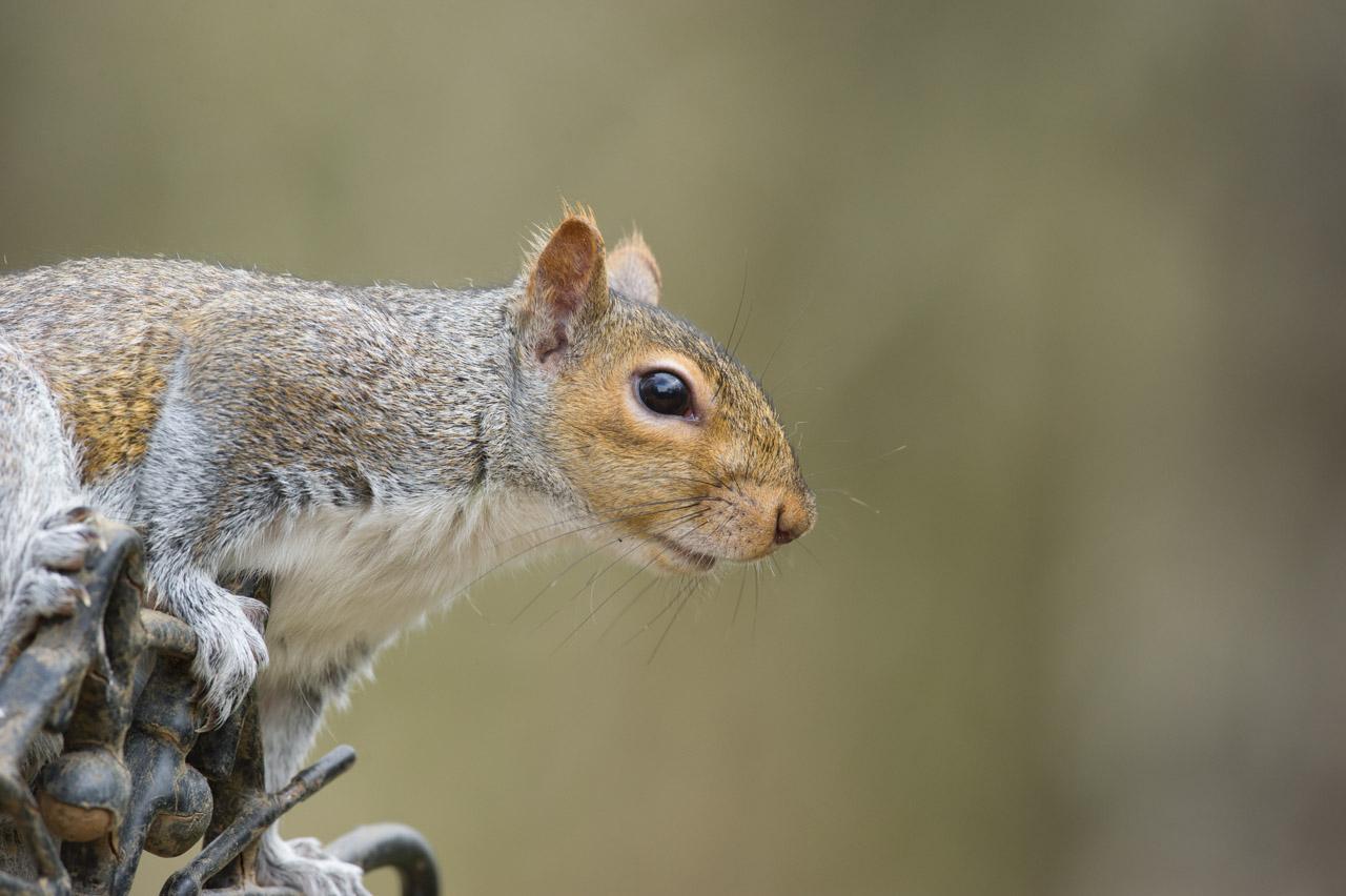 The inquisitive Grey Squirrel