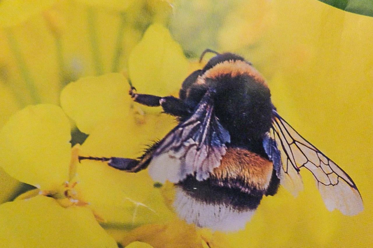A White-tailed Bumblebee feeding