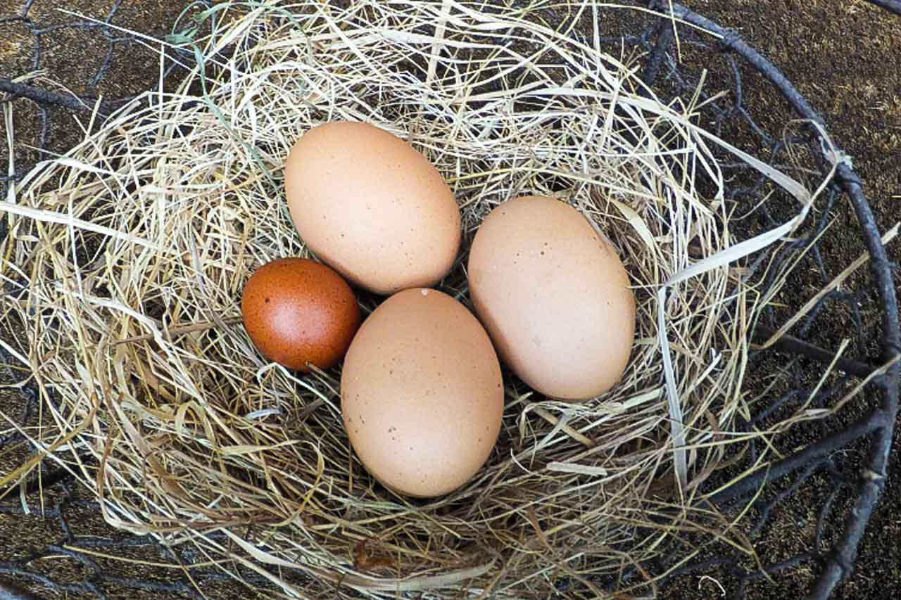 Early chicken's eggs, including the first, very small egg