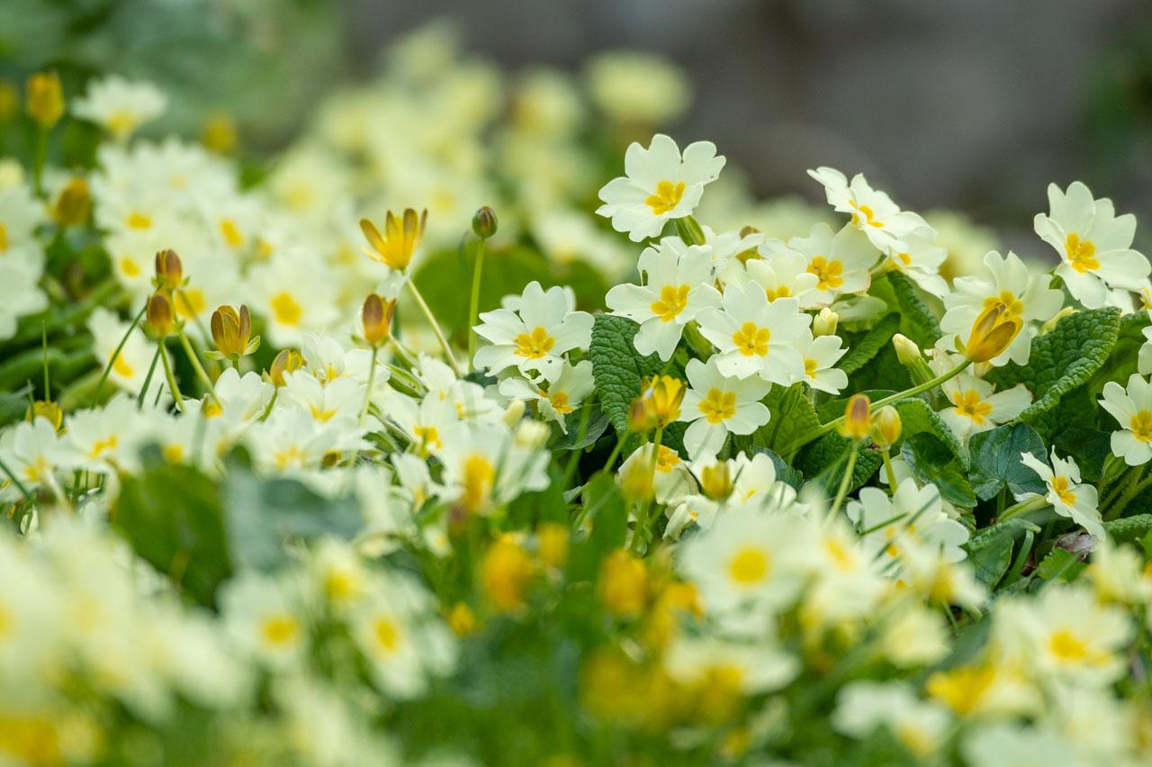 Primroses and Celandines