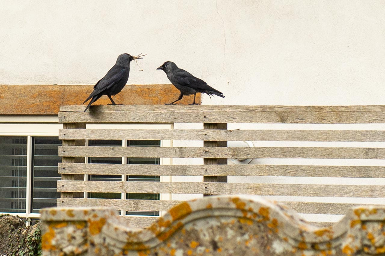Jackdaws busy finding nest building materials in the churchyard