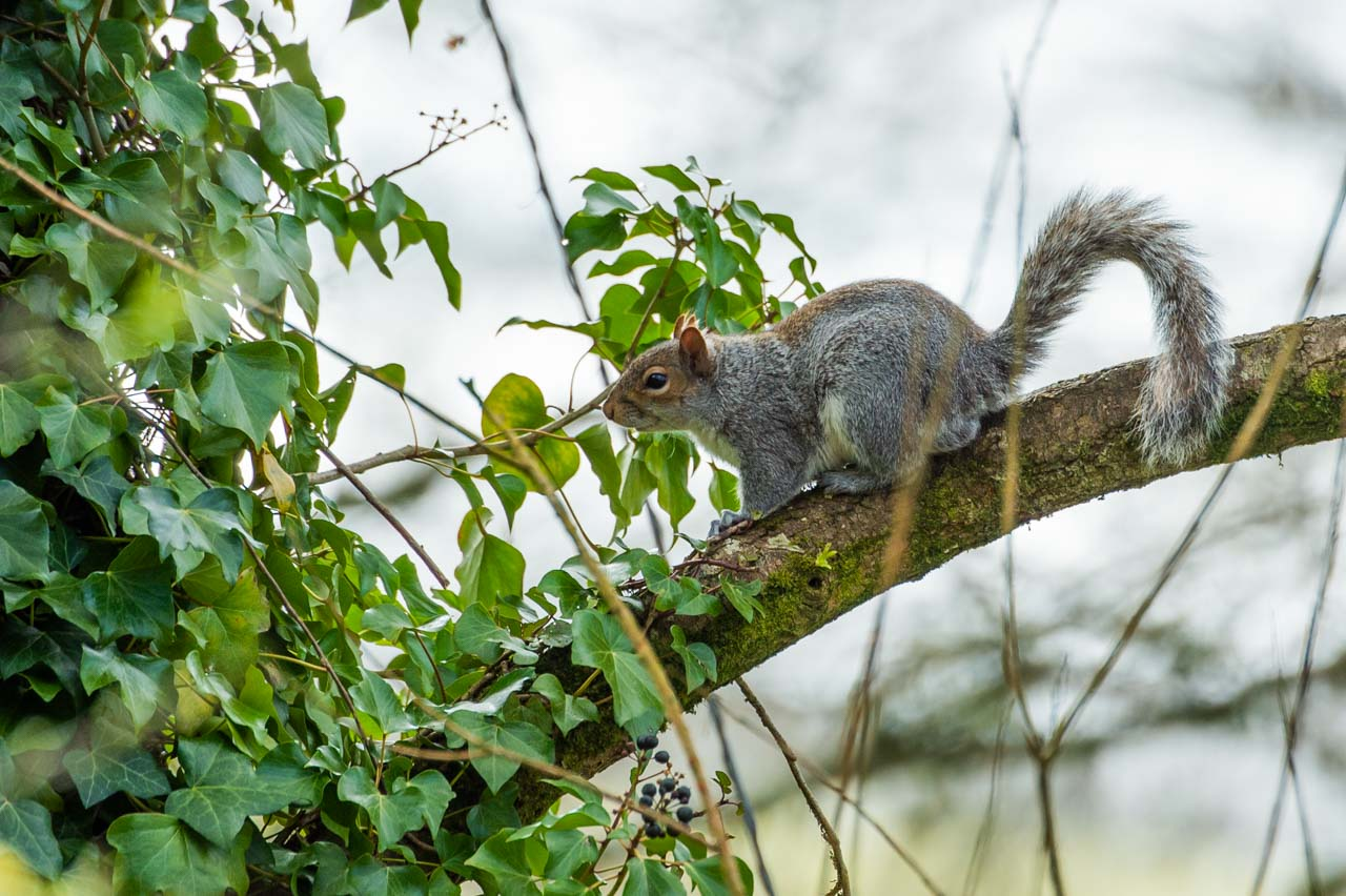 A wary Grey Squirrel on its way back from one of the local garden's bird table