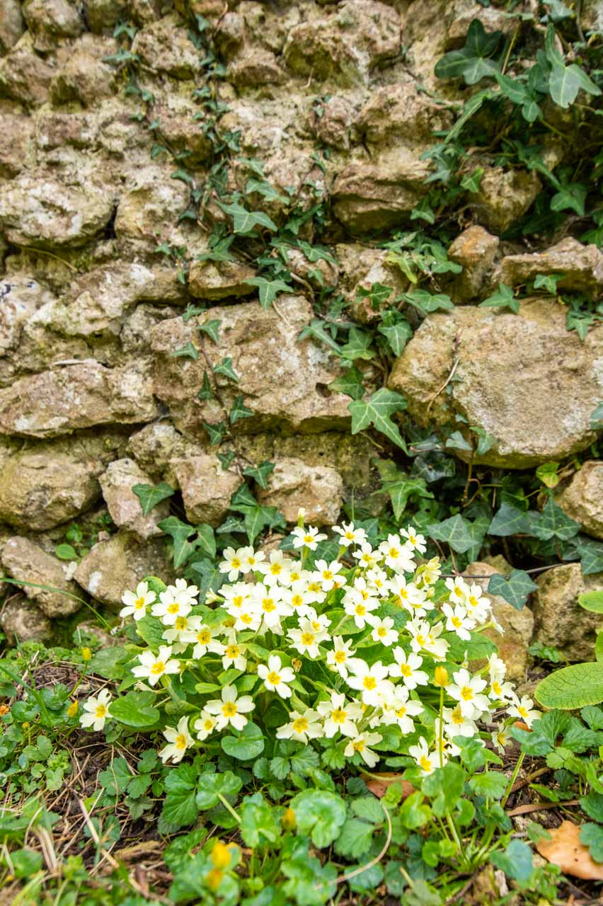 A church wall, hosting Ivy and Primroses