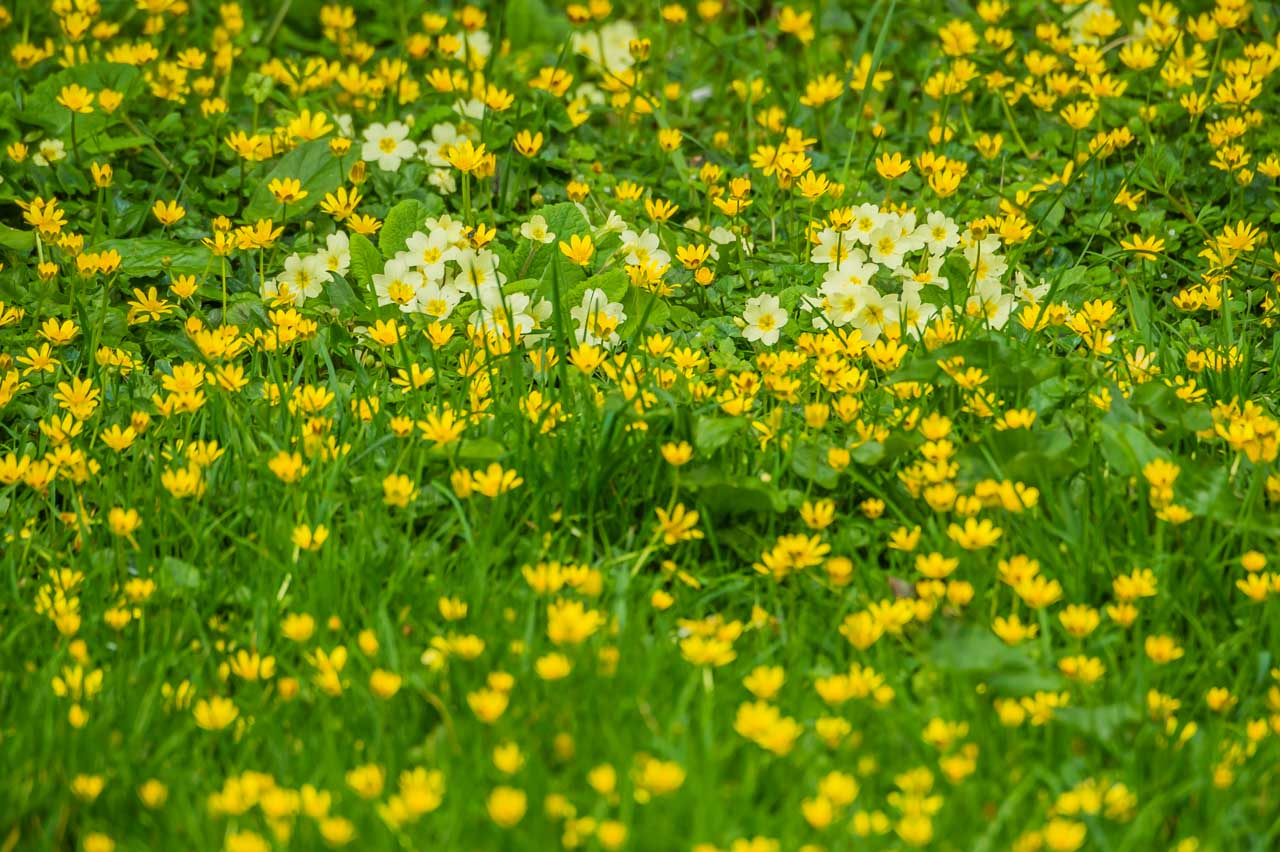 A beautiful bed of Celandines