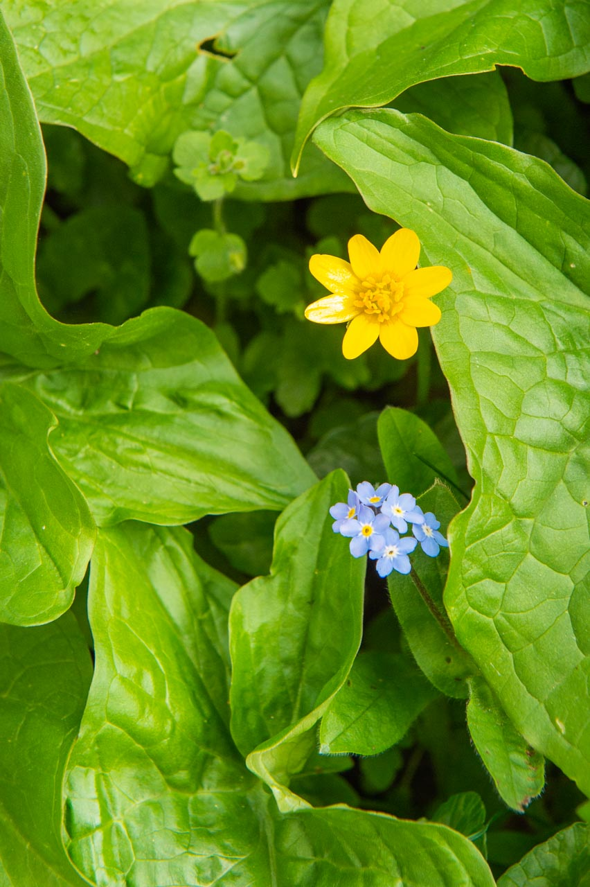 A Celandine and Forget-me-not peep between the leaves of a Cuckoo-pint