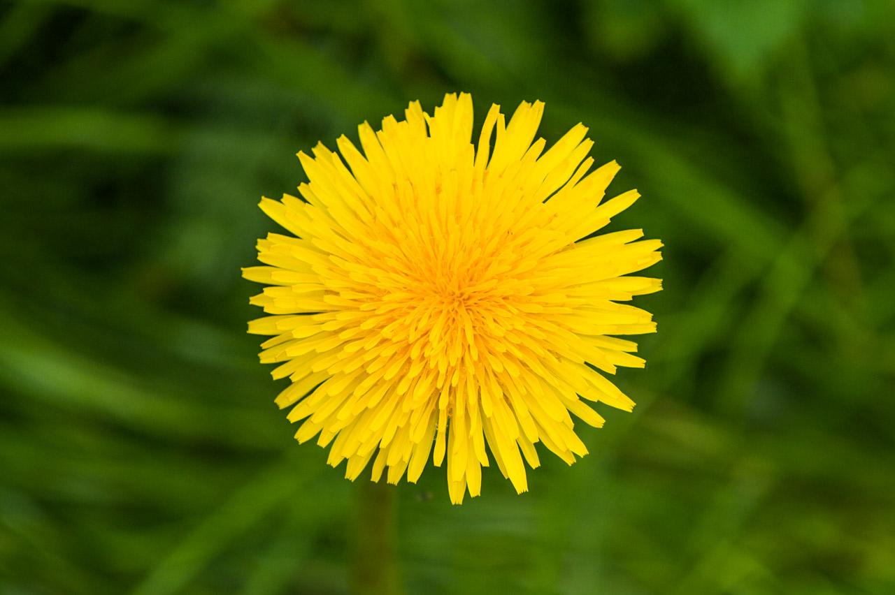 The beautiful head of a Dandelion
